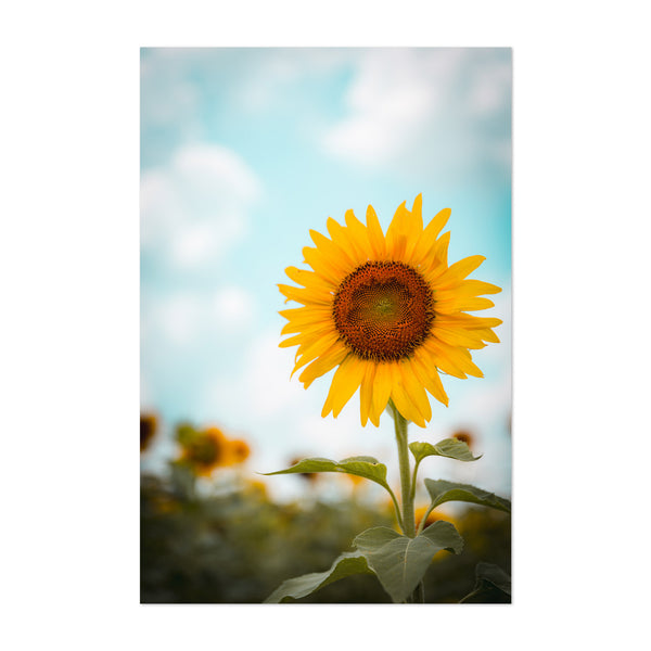 Sunflower Countryside Louisiana Art Print
