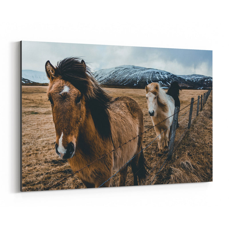 Icelandic Horse Iceland Wildlife Canvas Art Print
