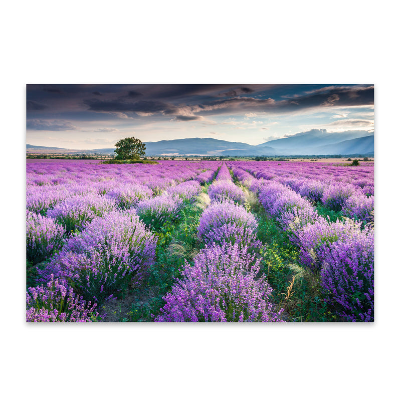 Bulgaria Lavender Field Rural Metal Art Print