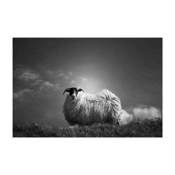 Sheep Scotland Animal Photo Art Print