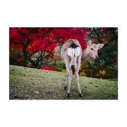Nara Japan Deer Autumn Photo Art Print