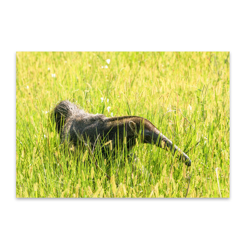 Anteater Animal Pantanal Brazil Metal Art Print