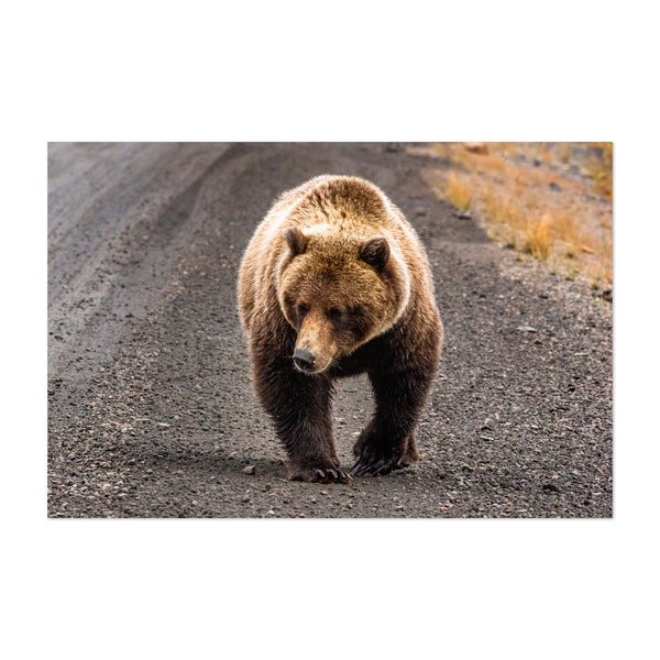Grizzly Bear Yukon Canada Animal Art Print