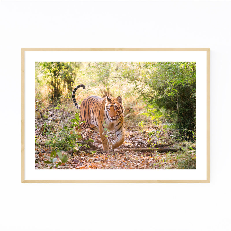 Bengal Tiger Wildlife India Framed Art Print