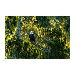 Bald Eagle Bird Animal Wildlife Art Print