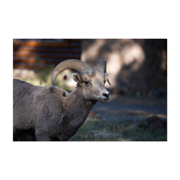Bighorn Sheep Greer Arizona Photo Art Print