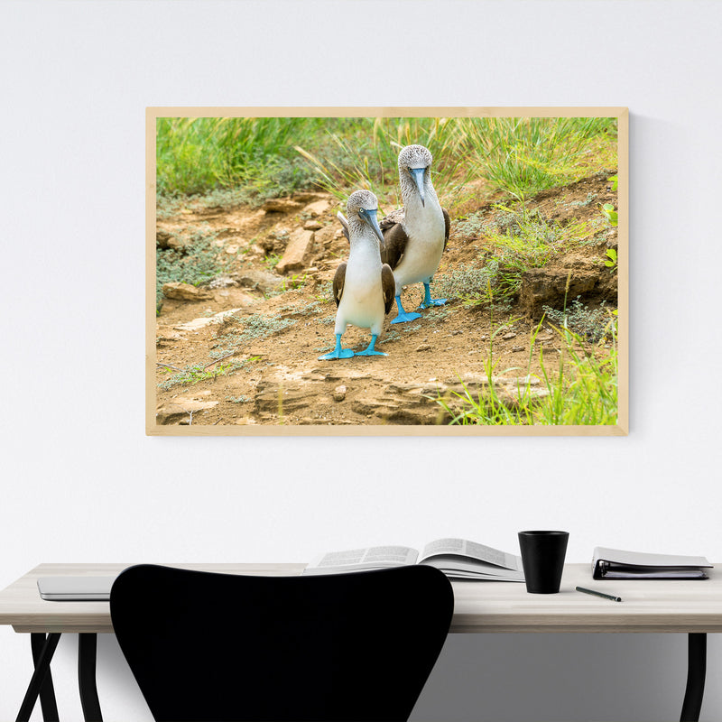 Blue Footed Boobies Bird Animal Framed Art Print