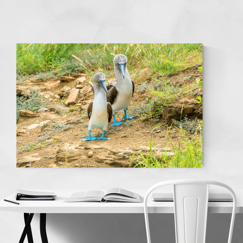 Blue Footed Boobies Bird Animal Canvas Art Print