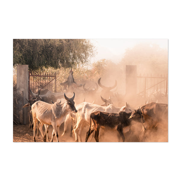 Cattle Herd India Rural Farm Art Print