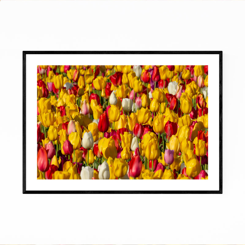 Oregon Williamette Valley Tulips Framed Art Print