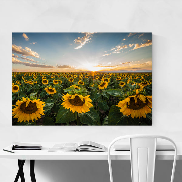Sunflower Field Denver Colorado Art Print