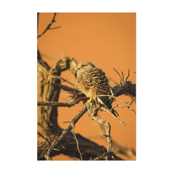 Greater Kestrel Birds Art Print