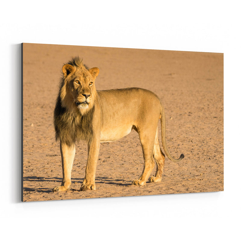 Lion Animal South Africa Nature Canvas Art Print