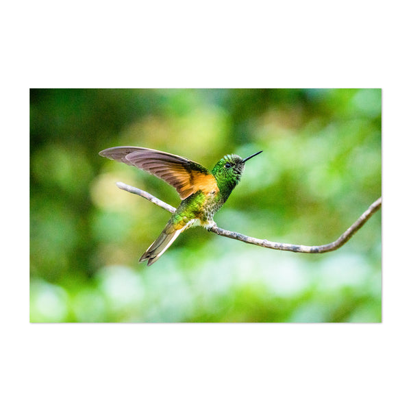 Hummingbird Wildlife Colombia Art Print