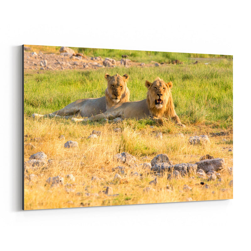 Namibia Africa Lions Wildlife Canvas Art Print