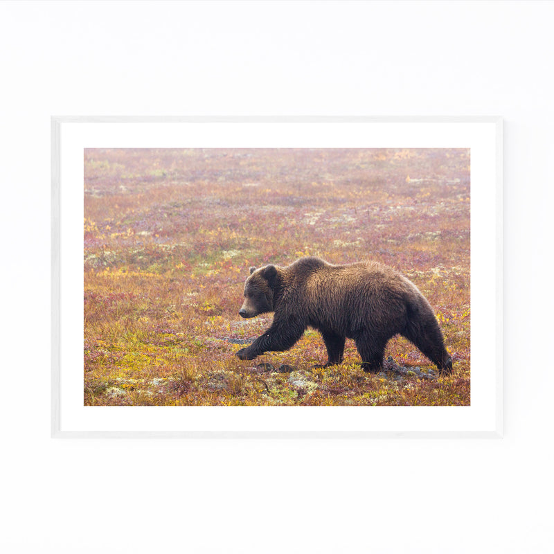 Grizzly Bear Animal Yukon Canada Framed Art Print