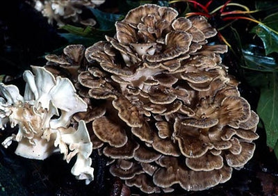 Optimizing Digestion with Maitake Mushroom D Fraction