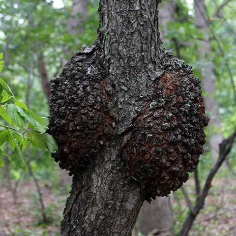 Awesome How To Identify Chaga Mushroom Vs Other Tree Mushrooms Interior Design Ideas Clesiryabchikinfo