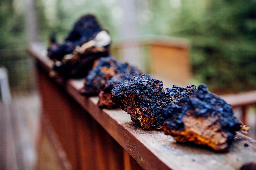 Shane Tyler Milson showing you how to harvest chaga mushrooms