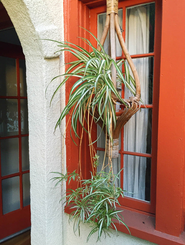 Spider Plant Outdoors