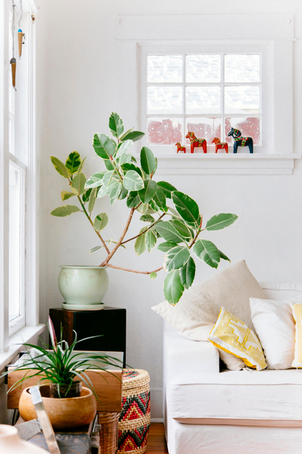 Rubber Tree from New Bohemians