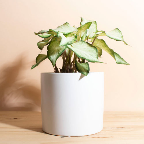 Caladium White Wonder + Planter
