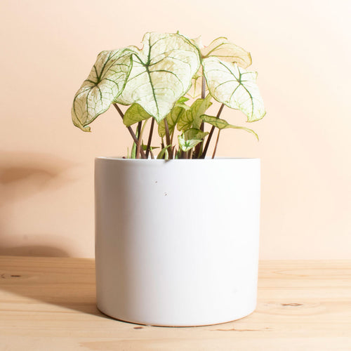 Caladium Allure + Planter