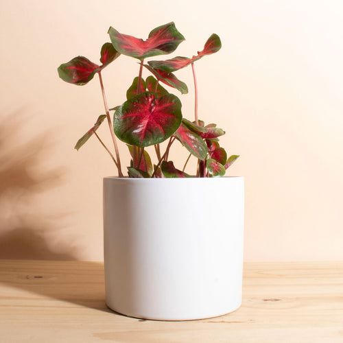 Caladium Red + Planter