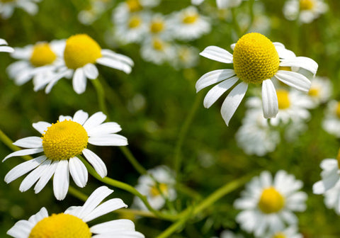 Chamomile: one of the oldest medicinal herbs in the world