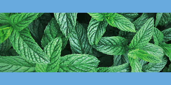 Peppermint Strengthens and Promotes Hair Growth