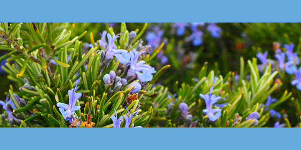 Rosemary Extract Reduces Dihydrotestosterone (DHT) in Hair Follicles