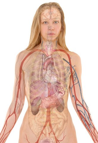 the human body and anatomy