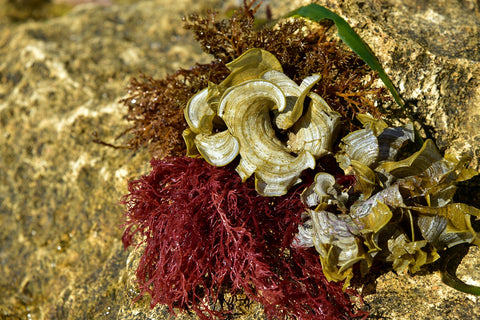 sea moss on a rock
