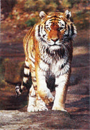 Iconic Tiger Picture Modern Rug N3402, [cheapest rugs online], [au rugs], [rugs australia]