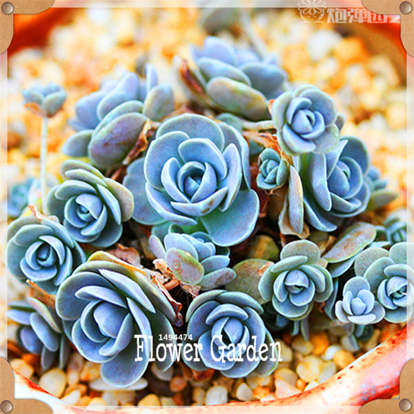 Plant Seeds | Succulent Plants | 10pack