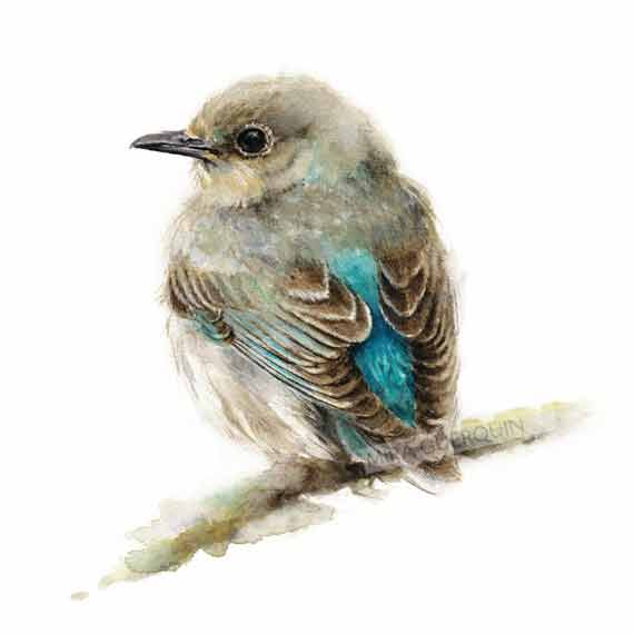 Bluebird Watercolor - Archival Print Mountain Bluebird Female, Nature Illustration