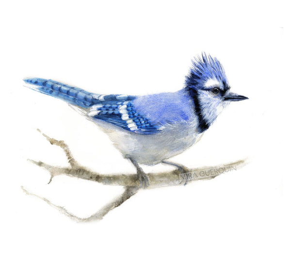 Blue Jay Watercolor Art Print