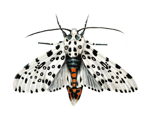 Moth Watercolor Archival Print