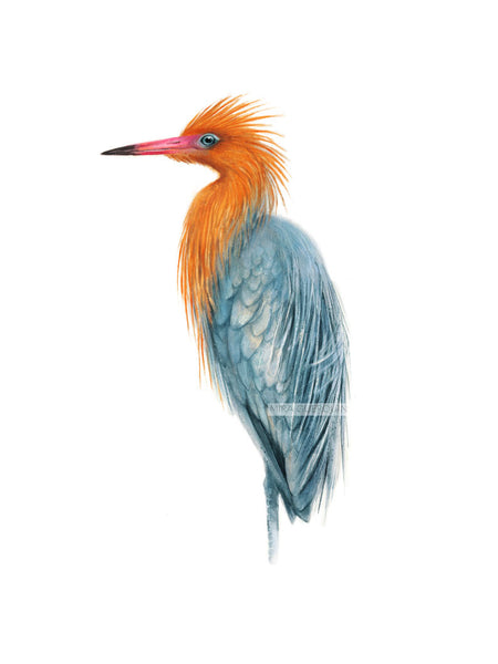 Reddish Egret Heron Watercolor Archival Print