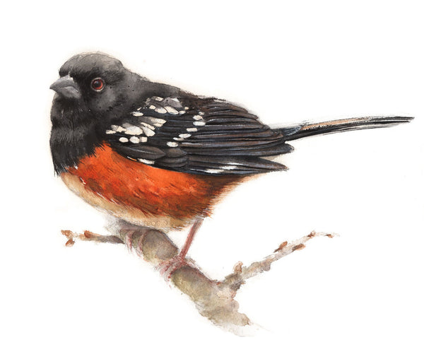 Spotted Towhee Watercolor Archival Print