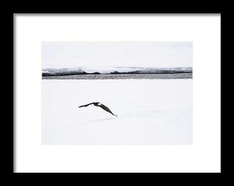 Bald Eagle Fly By - Framed Print-Lake Tahoe Prints