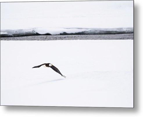 Bald Eagle Fly By - Metal Print-Lake Tahoe Prints