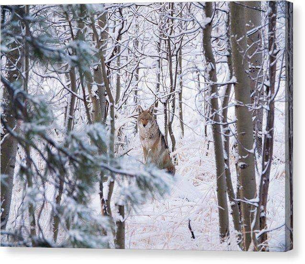 Coyote In The Aspens - Canvas Print-Lake Tahoe Prints