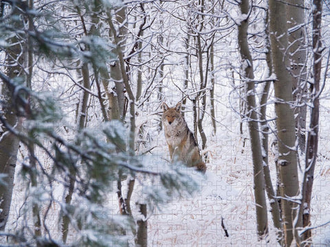 Coyote In The Aspens - Puzzle