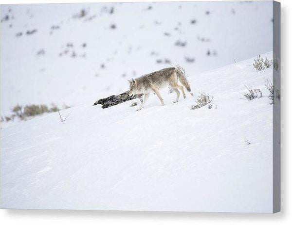 Coyote In Yellowstone - Canvas Print-Lake Tahoe Prints