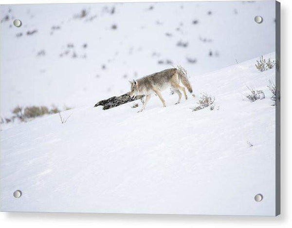 Coyote In Yellowstone - Acrylic Print-Lake Tahoe Prints
