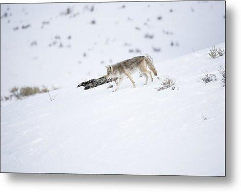 Coyote In Yellowstone - Metal Print-Lake Tahoe Prints
