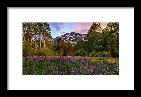 Lupine Spring By Mike Breshears - Framed Print