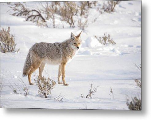 Posing Coyote - Metal Print-Lake Tahoe Prints