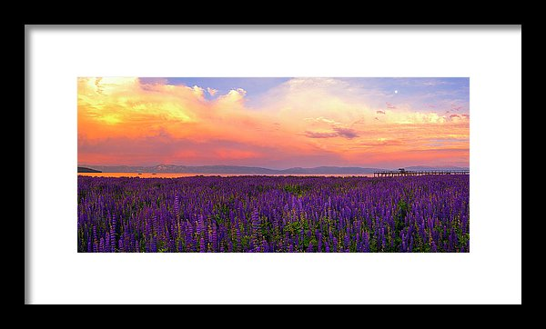 Tahoe City Lupine Sunset By Brad Scott - Framed Print